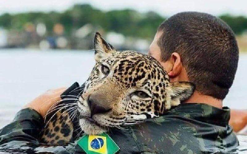 Бразильская армия спасла тонущего ягуара из сильнейшего наводнения