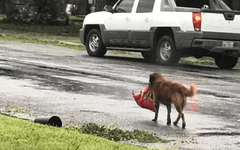 Собака несколько километров протащила тяжёлый свёрток до самого порога